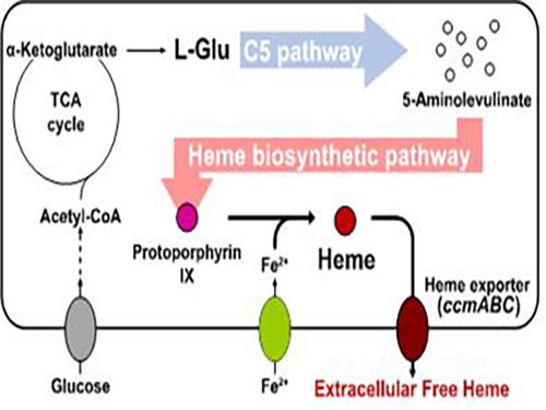 Metabolic Engineering of E. coli for the Secretory Production of Free Haem 이미지