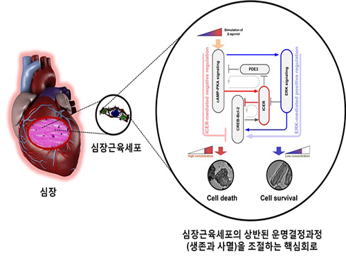 A Key Signal Transduction Pathway Switch in Cardiomyocyte Identified 이미지