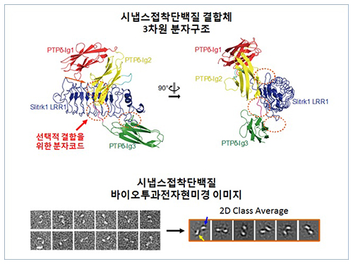 Structure of Neuron-Connecting Synaptic Adhesion Molecules Discovered 이미지