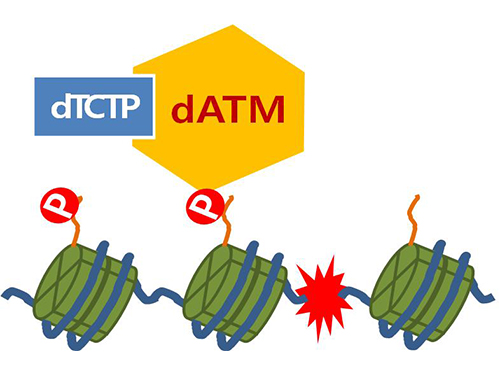 Mechanism in regulation of cancer-related key enzyme, ATM, for DNA damage and repair revealed 이미지