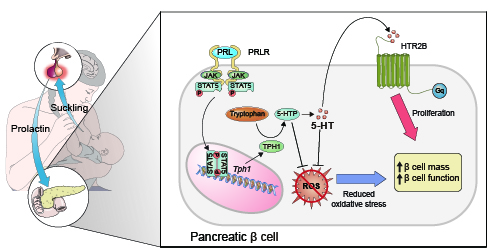 Figure 2. Schematic figure depicting the PRLR-STAT5-TPH1-HTR2B axis for beta cell proliferation and the antioxidant activity of intracellular 5-HT and 5-HTP during lactation.
