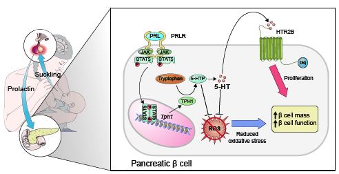 PRLR-STAT5-TPH1-HTR2B 축을 통한 베타세포 증식 및 항산화 효과로 췌장 베타세포 기능이 향상됨을 알 수 있다.