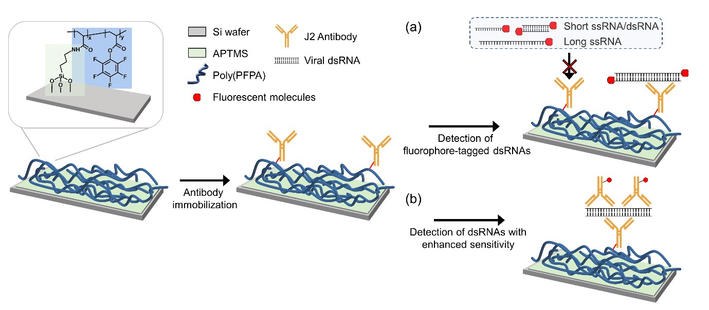 Figure: Schematics of the reactive polymer-coated surface for dsRNA capture and detection.