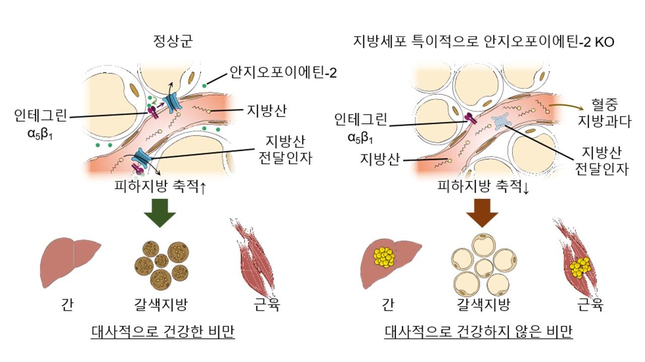 그림 1. 혈관의 피하지방 축적 기능과 대사질환과의 연관성. 피하지방 내 모세혈관의 지방산 전달 기능과 이에 따른 대사질환과의 연관성을 나타낸 모식도. 피하지방세포에서 발현한 안지오포이에틴-2은 혈관의 인테그린 수용체와 결합하여 지방산전달인자 조절함으로써 혈중 지방산을 전달하여 지방세포로 축적시킨다. 이 기능이 저하되면 혈중 지방과다로 인해 간, 갈색지방, 근육 등에 지방이 축적되어 인슐린 저항성 등 대사적으로 건강하지 않은 비만으로 이어진다.