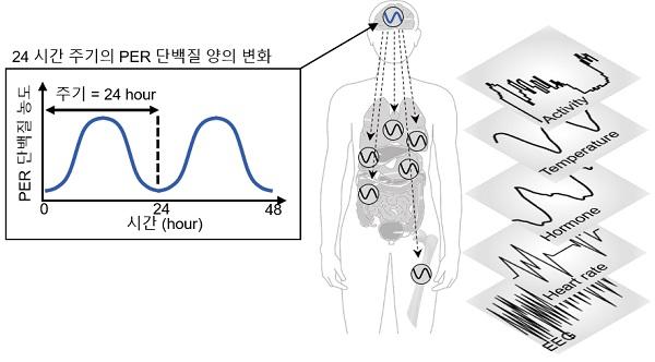 그림 1. 자가 음성피드백 루프에 의해서 세포 내 PER 단백질의 양은 24시간 주기로 증감한다.