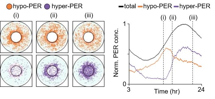 그림 2. PER 분자의 세포 내 움직임을 묘사하는 시공간적 확률론적 수리 모형