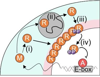 그림 3. 시공간적 확률론적 수리 모형을 통해 시뮬레이션된 시간에 따른 세포 내 PER 분자의 움직임과 양