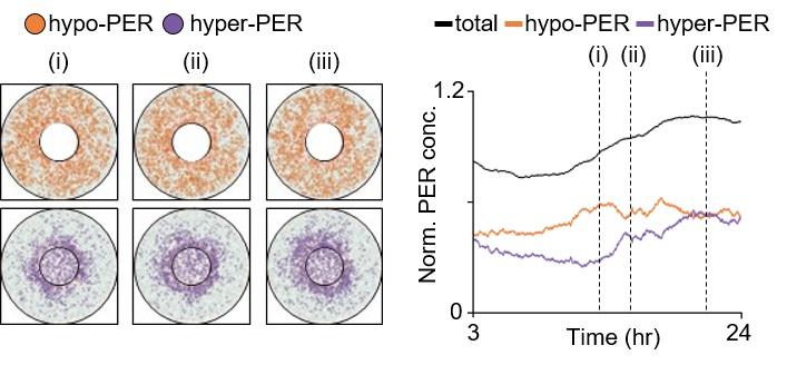그림 4. 시공간적 확률론적 수리 모델을 통해서 시뮬레이션된 세포 내 불순물들이 과도하게 많은 세포에서의 시간에 따른 PER 분자의 움직임과 양