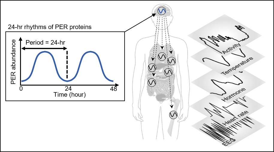 Figure 1. PER abundance oscillates in a circadian manner through an autoregulatory negative feedback loop. This oscillation enables robust timekeeping of circadian-timed physiological and behavioral processes including sleep.