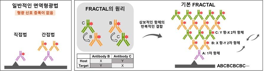 그림 1. 형광 분자가 표지된 상보적인 항체의 반복적인 라벨링을 통한 형광신호 증폭 기술을 보여주는 모식도