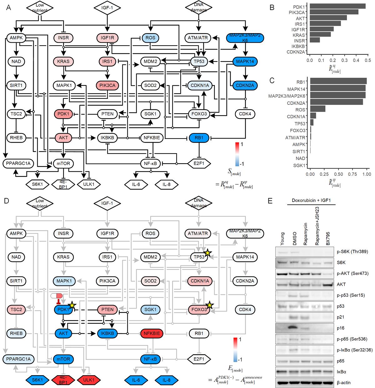 그림 1. 인간 진피섬유아세포의 세포 노화 신호전달 네트워크 모델의 시뮬레이션 분석 모식도