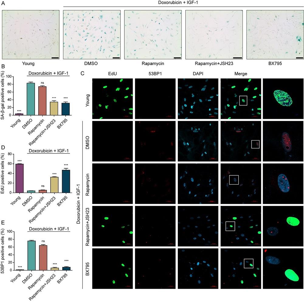 그림 3. 세포 노화의 역행에 대한 표현형 검증