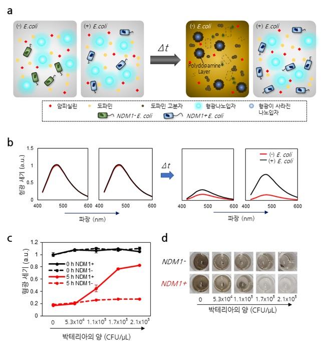 그림 2. 도파민 센서를 이용한 박테리아의 항생제 내성 검출 원리 설명 모식도