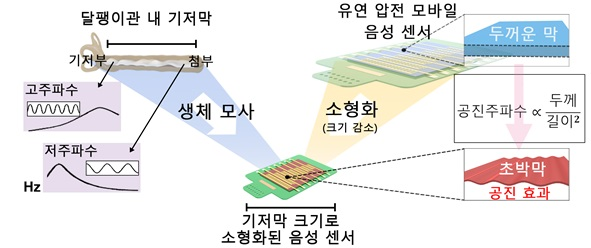 그림 1. 달팽이관 내 기저막을 모사한 모바일 압전 음성 센서의 원리