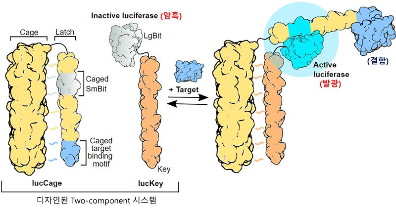 개발된 단백질 센서 시스템의 작동 기작 모식도. 표적 단백질 (target)이 디자인된 결합 부위에 붙게 되면 빛을 발생한다. 결합 부위만 바꾸면 다른 표적 단백질을 감지할 수 있다.