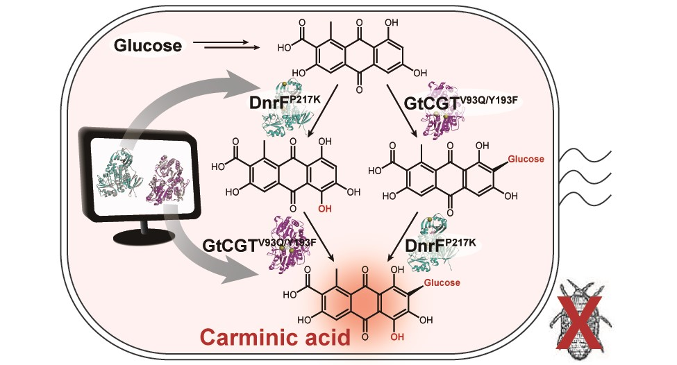 Figure: A schematic biosynthetic pathway for the production of carminic acid from glucose. Biochemical reaction analysis and computer simulation-assisted enzyme engineering was employed to identify and improve the enzymes (DnrFP217K and GtCGTV93Q/Y193F) responsible for the latter two reactions.