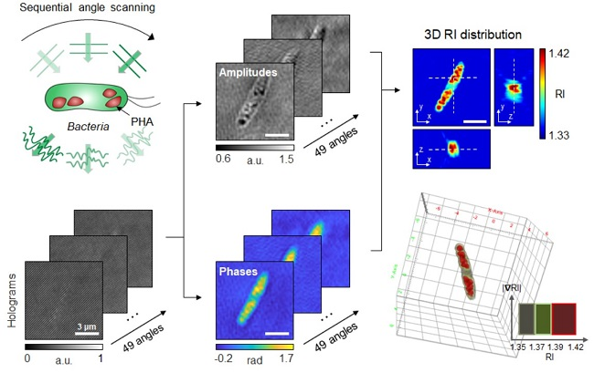 Figure: Schematic process of 3D optical diffraction tomography for the bacterial cell accumulating bioplastic polyhydroxyalkanoate (PHA). A cell sample is illuminated at multiple sequential illumination angles (Left, Top). From the raw holograms recorded at individual angles (Left, Bottom), quantitative amplitude and phase information (Middle) is retrieved and the 3D refractive index distribution (Right, Top) is reconstructed. The 3D rendering image of the sample is then obtained (Right, Bottom).