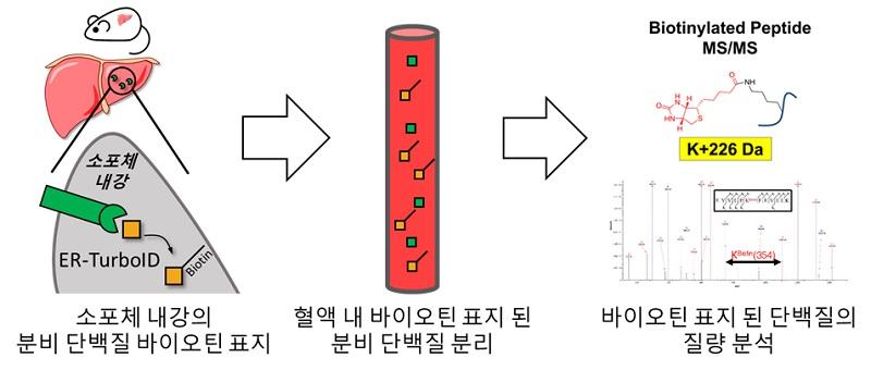그림 1. 생체 내 조직 특이적 분비 단백질 표지 기법의 모식도